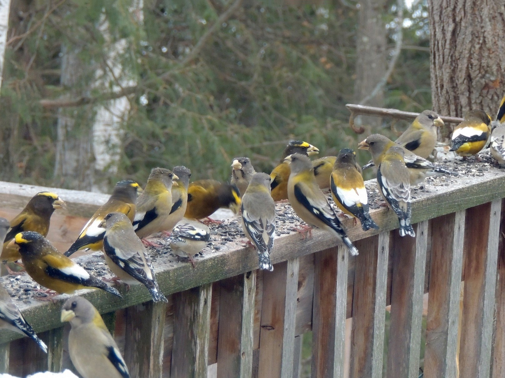 Evening Grosbeak - Anonymous eBirder