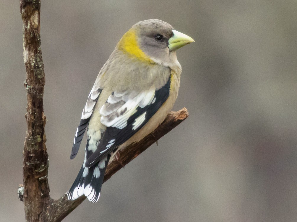 Evening Grosbeak - Kyle Blaney
