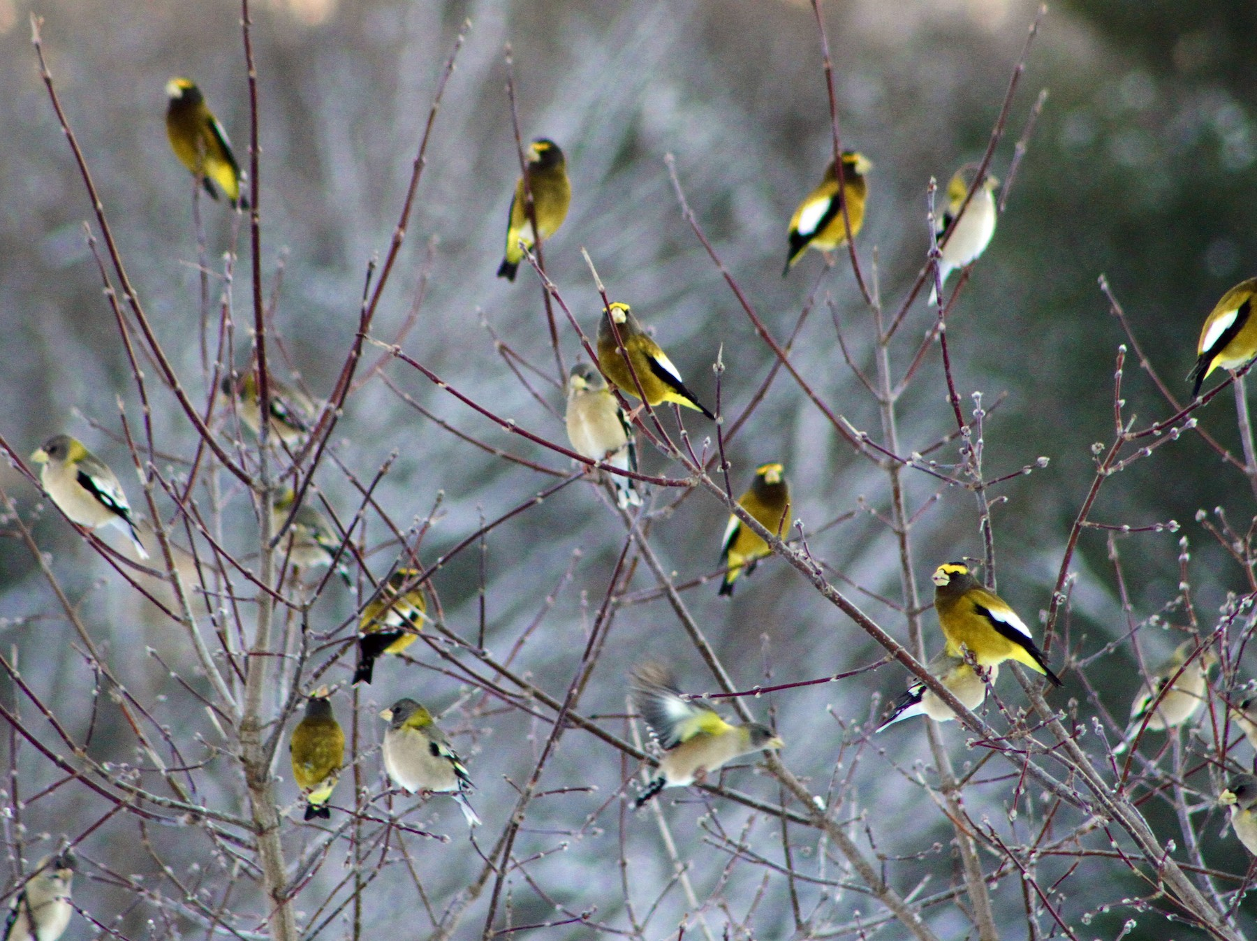 Evening Grosbeak - Jenn  Megyesi