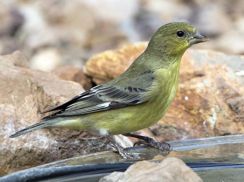 Lesser Goldfinch - Anonymous eBirder