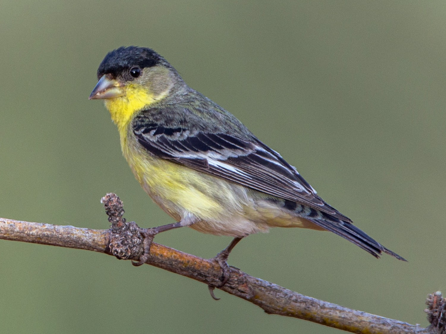 Lesser Goldfinch - Eric Gofreed