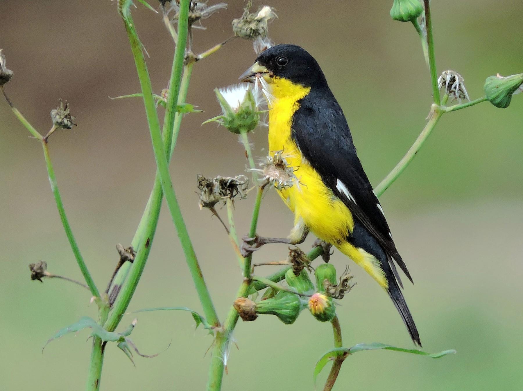 Lesser Goldfinch - Juan D  Astorga
