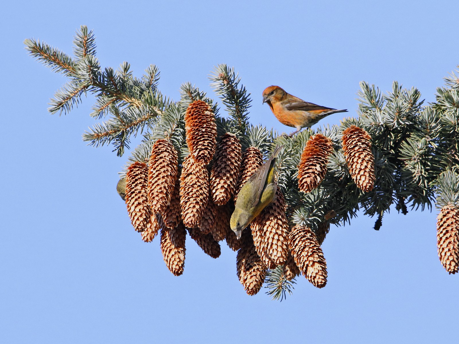 Red Crossbill - Marlene Cashen