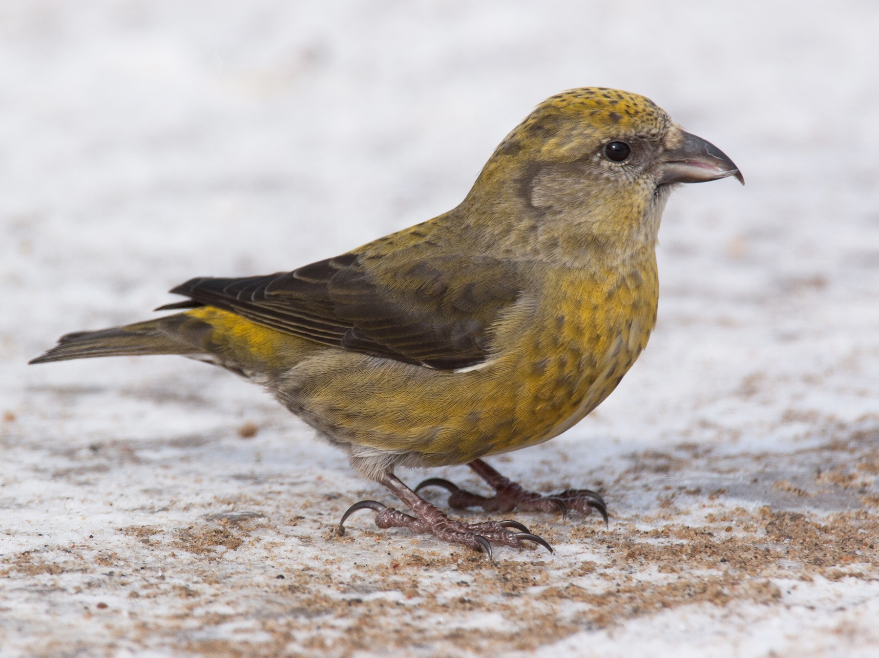 Red Crossbill - Chris Wood
