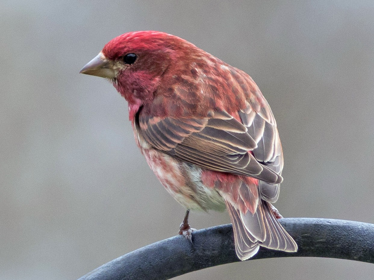 Purple Finch - Charmaine Anderson