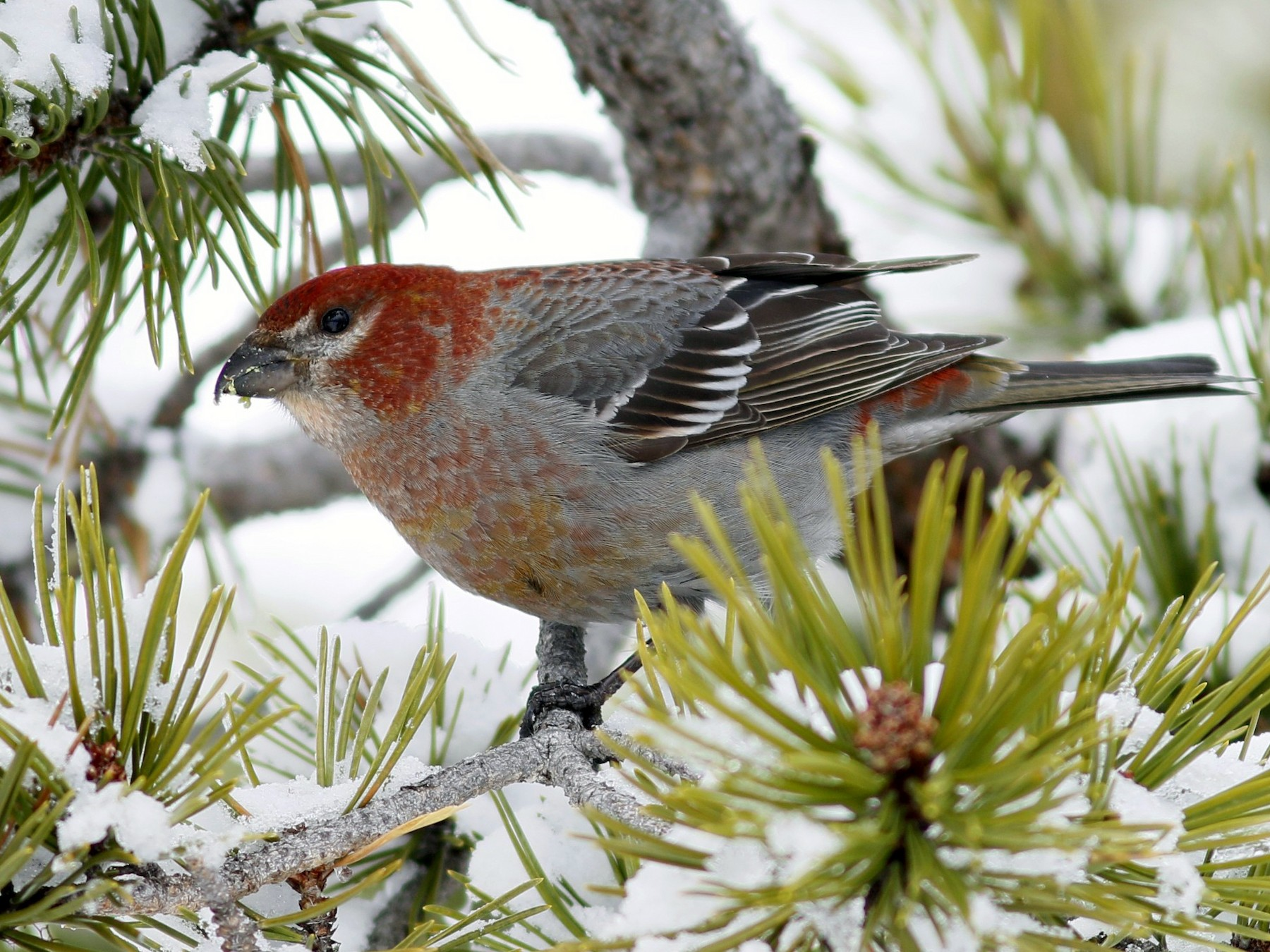 Pine Grosbeak - John Sullivan