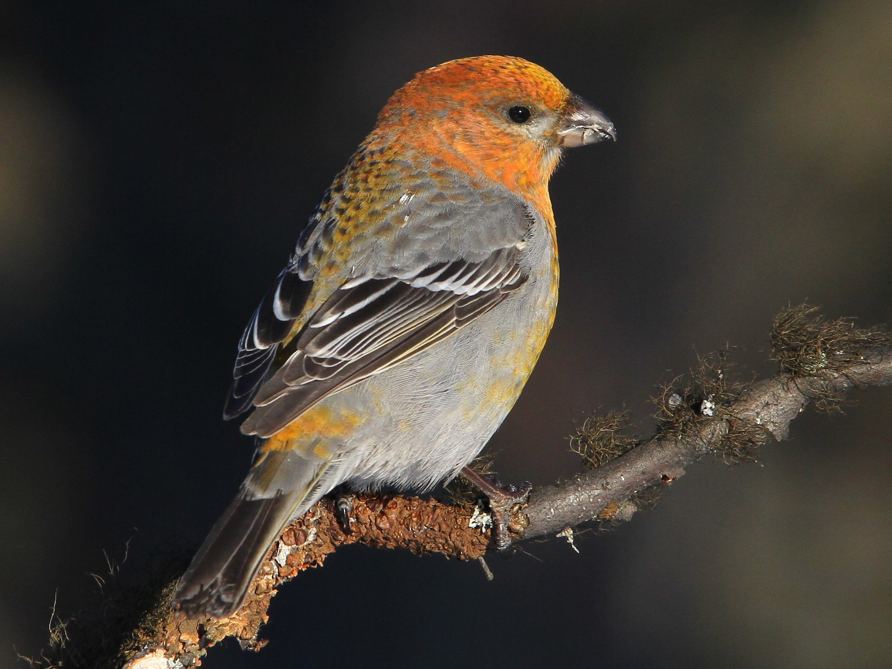 Pine Grosbeak - Christoph Moning