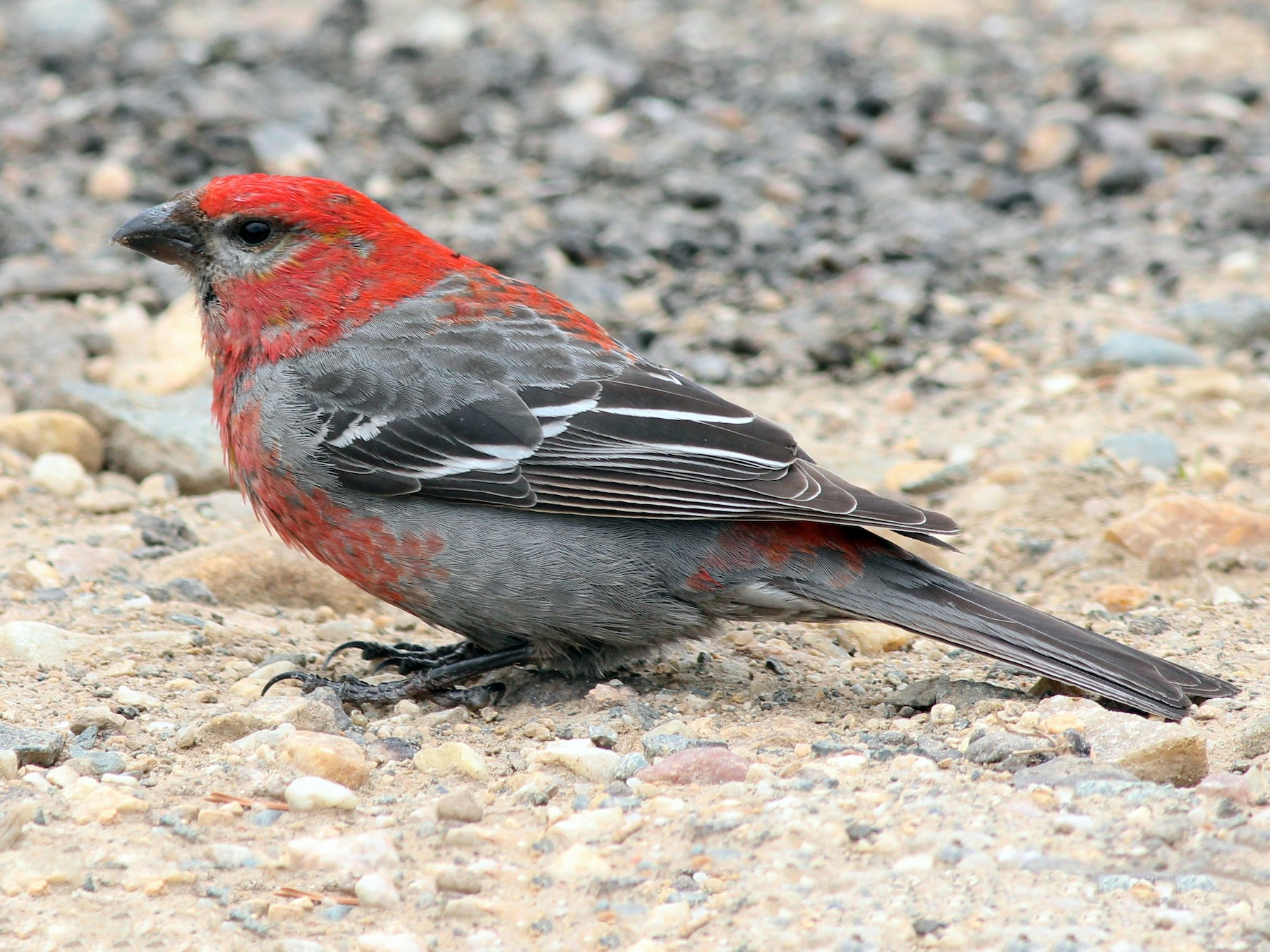 Pine Grosbeak - Shawn Billerman