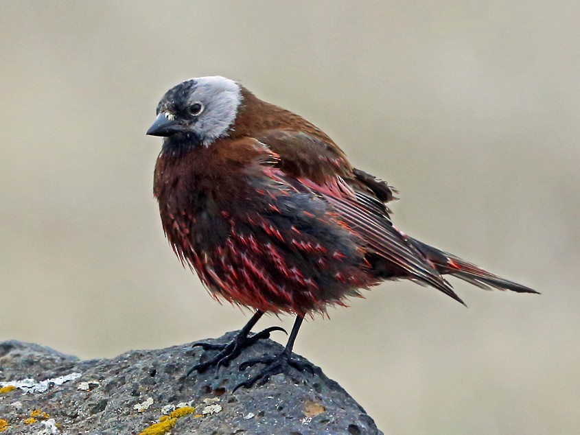 Gray-crowned Rosy-Finch - Nigel Voaden