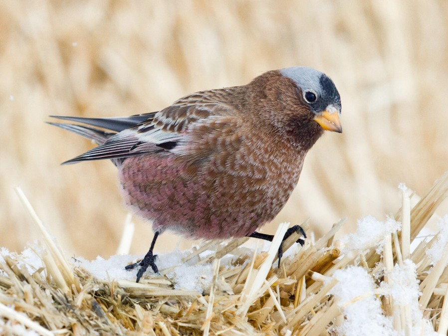 Gray-crowned Rosy-Finch - Darren Clark