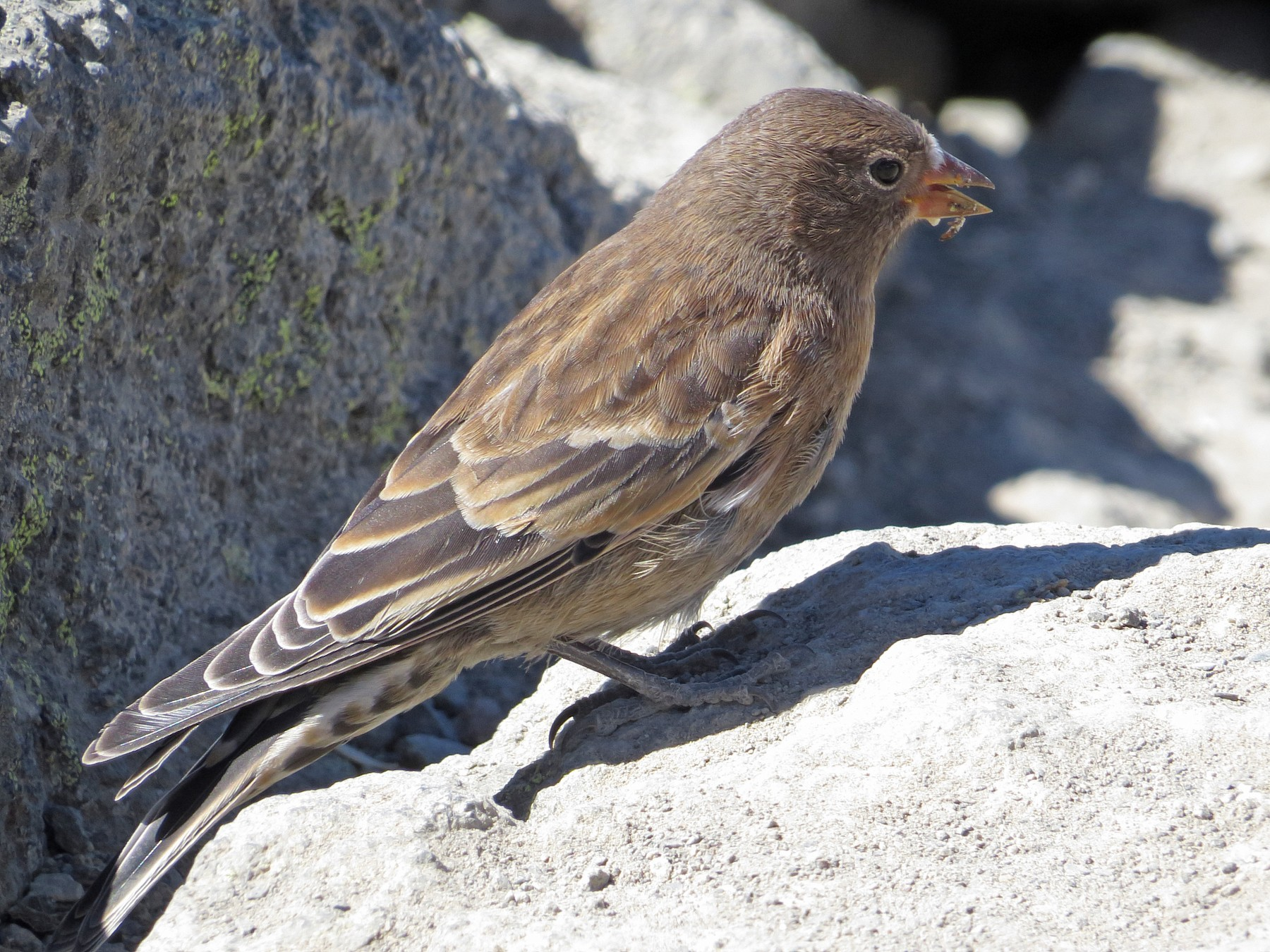 Gray-crowned Rosy-Finch - Scott Ramos