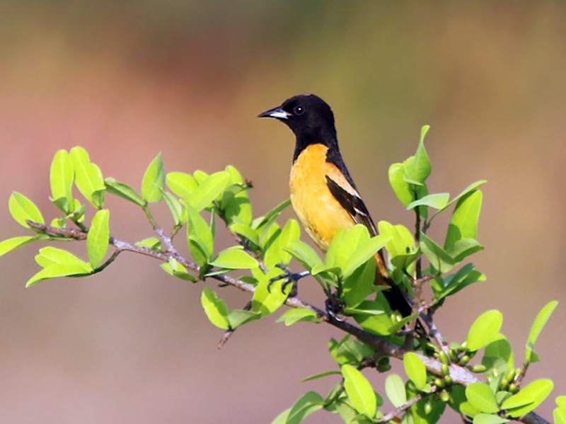 Orchard Oriole - Amy McAndrews