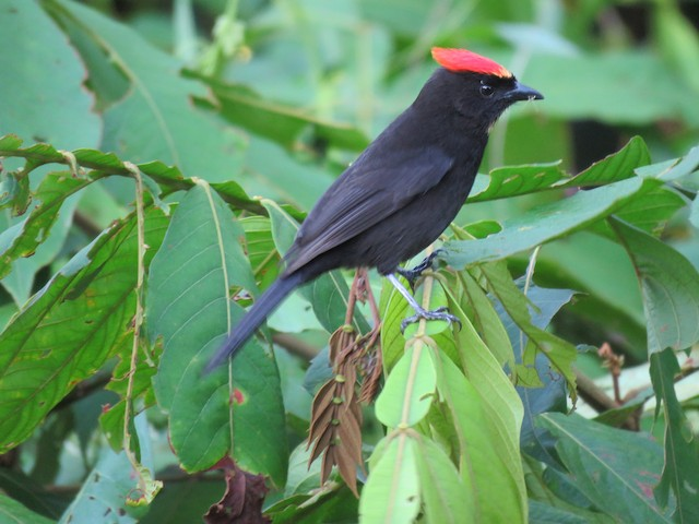 Flame-crested Tanager (Flame-crested)
