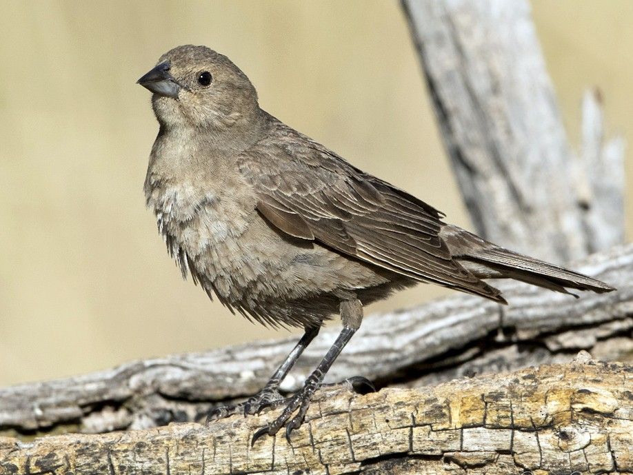 Brown-headed Cowbird - Anonymous eBirder