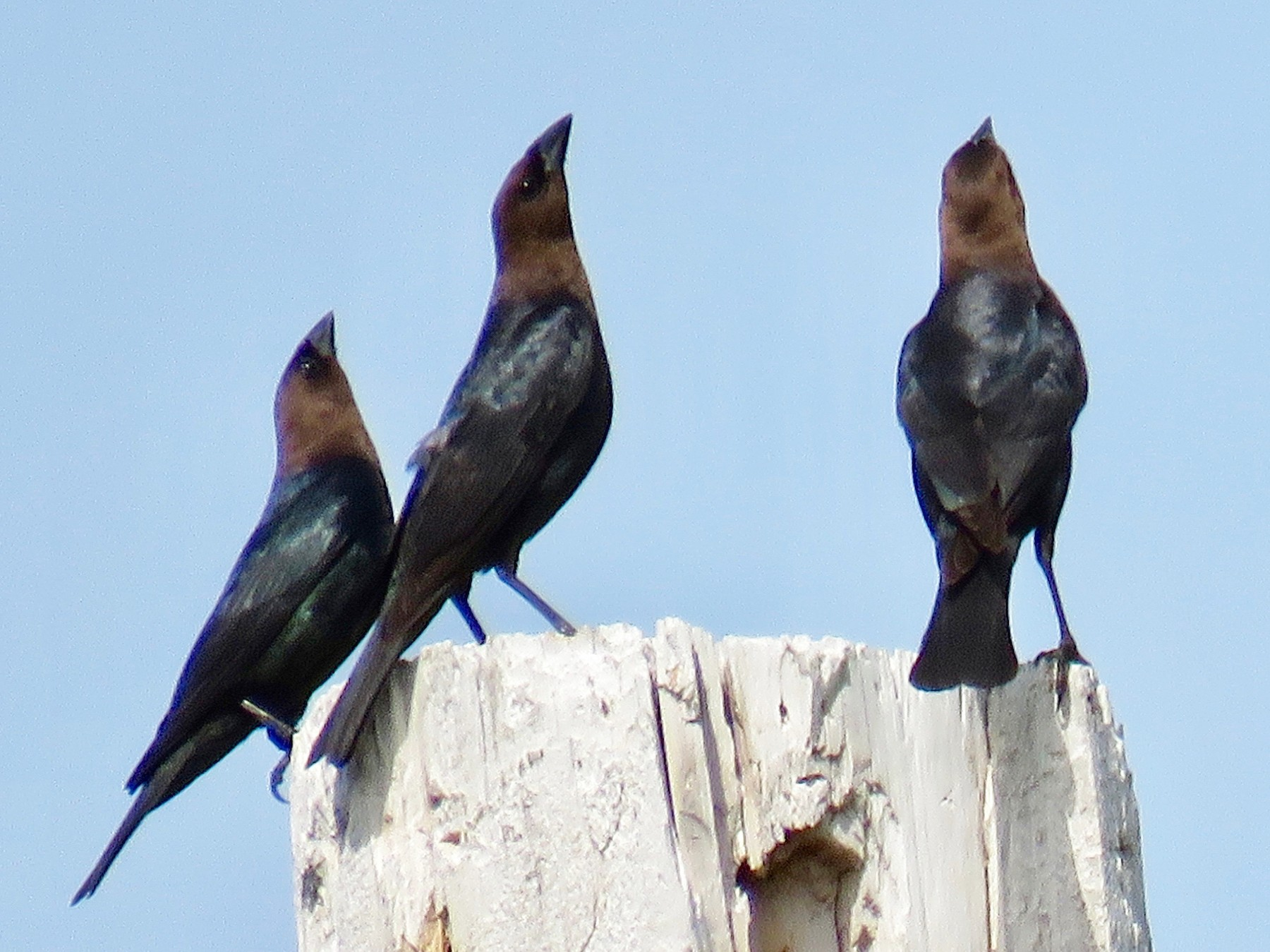Brown-headed Cowbird - Ann Tanner