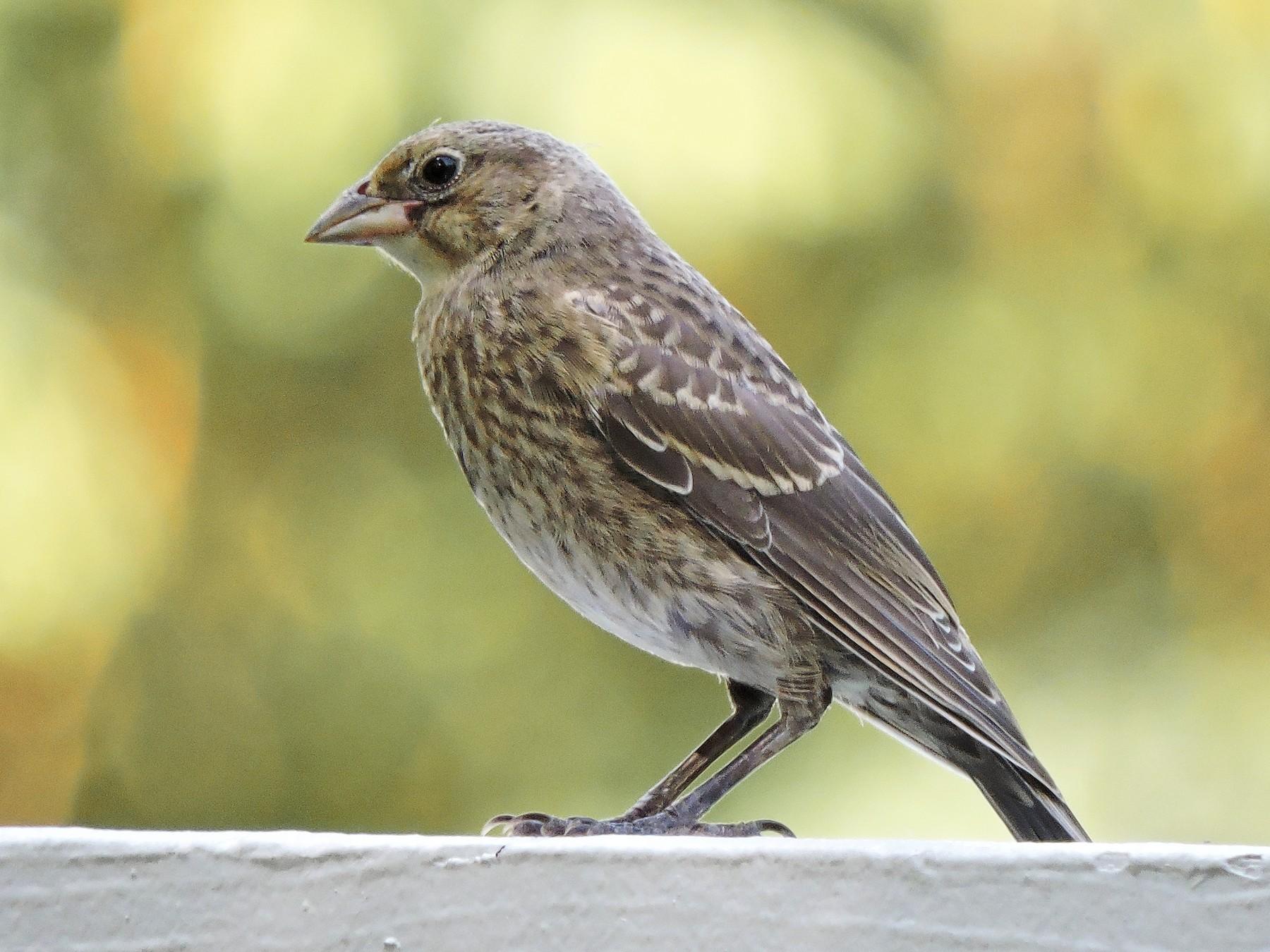 Brown-headed Cowbird - S. K.  Jones