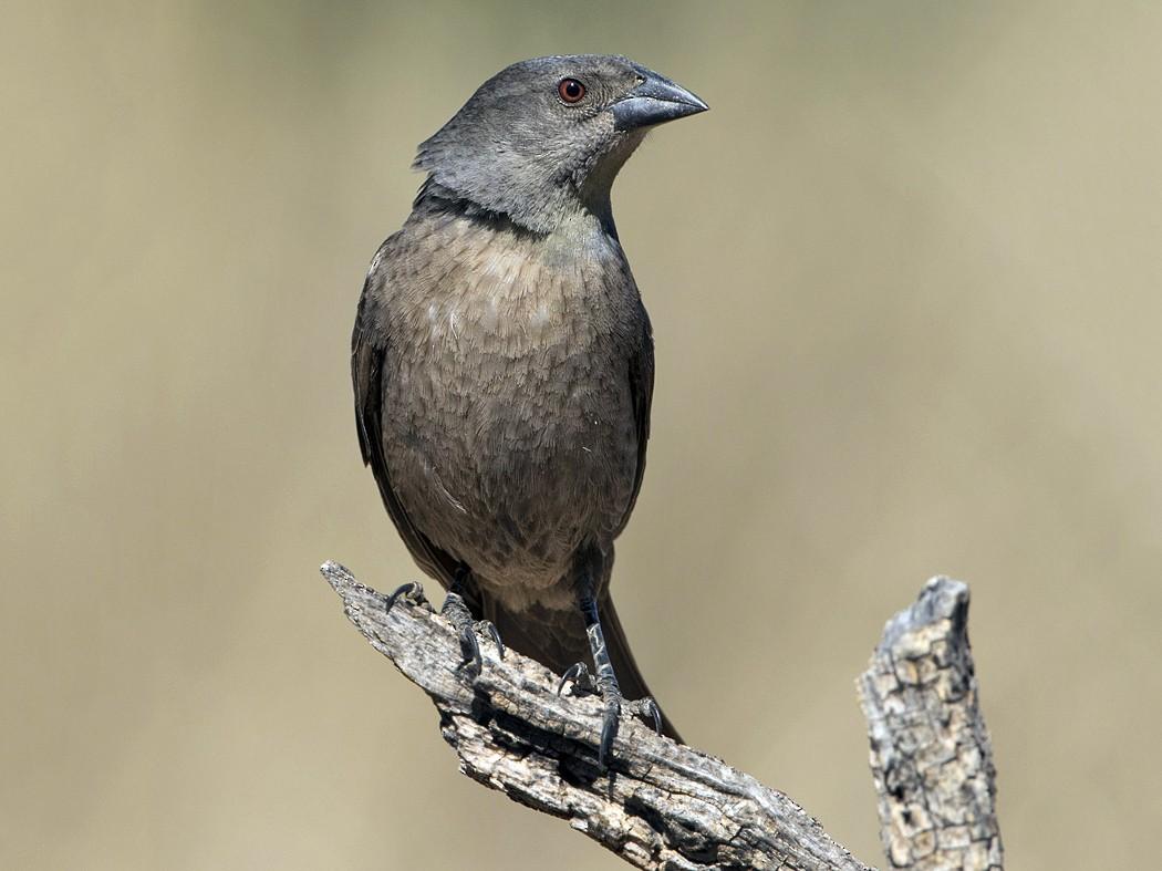 Bronzed Cowbird - Anonymous eBirder