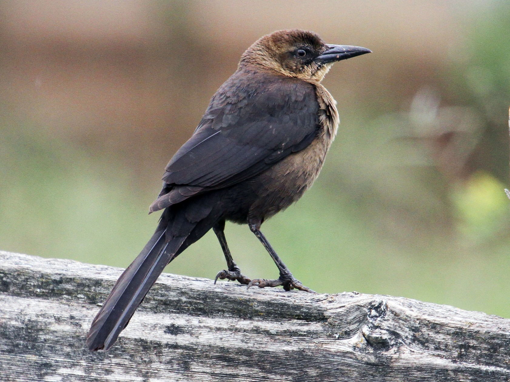 Great-tailed Grackle - Jamie Chavez
