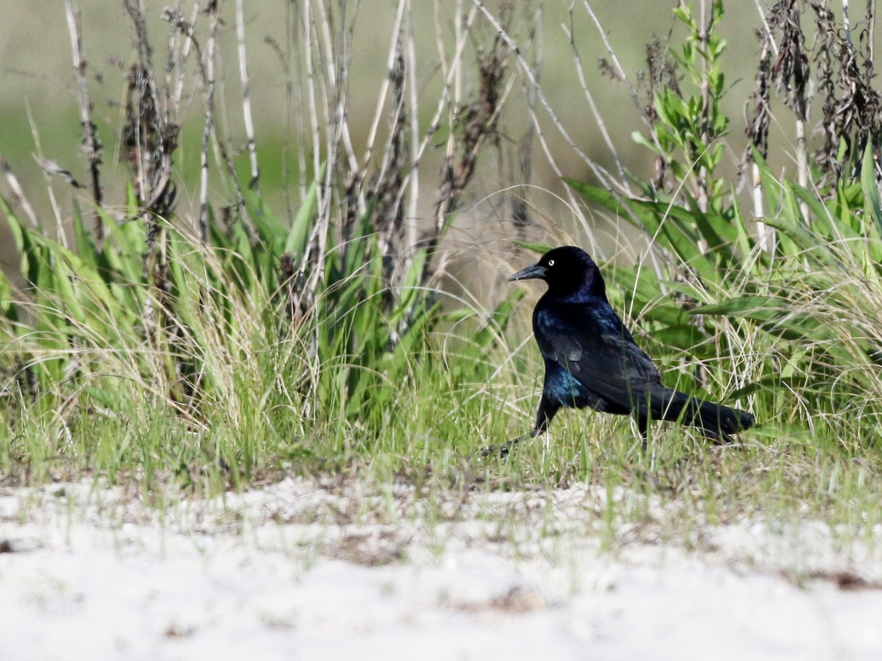 Boat-tailed Grackle - Jay McGowan