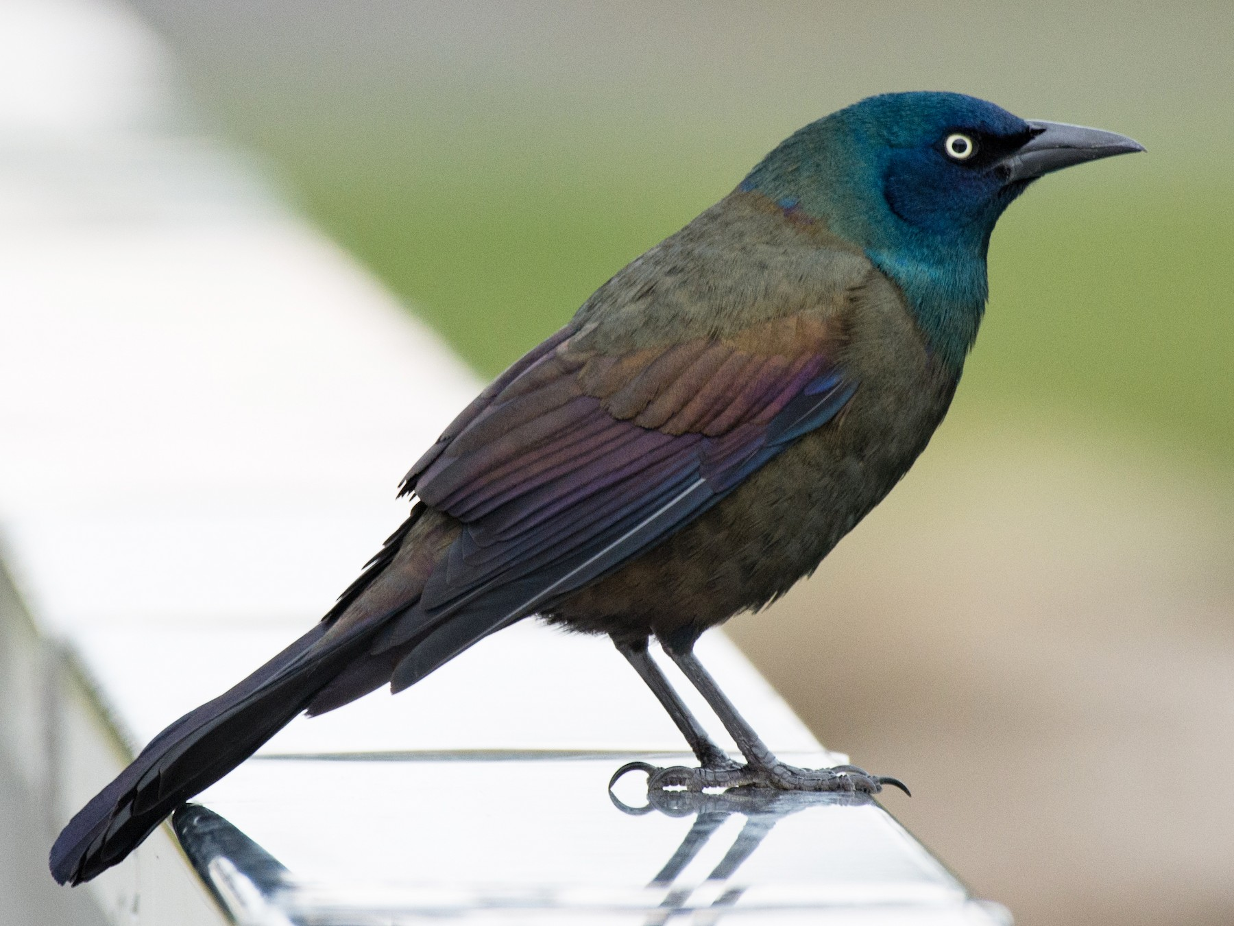 Common Grackle - T I