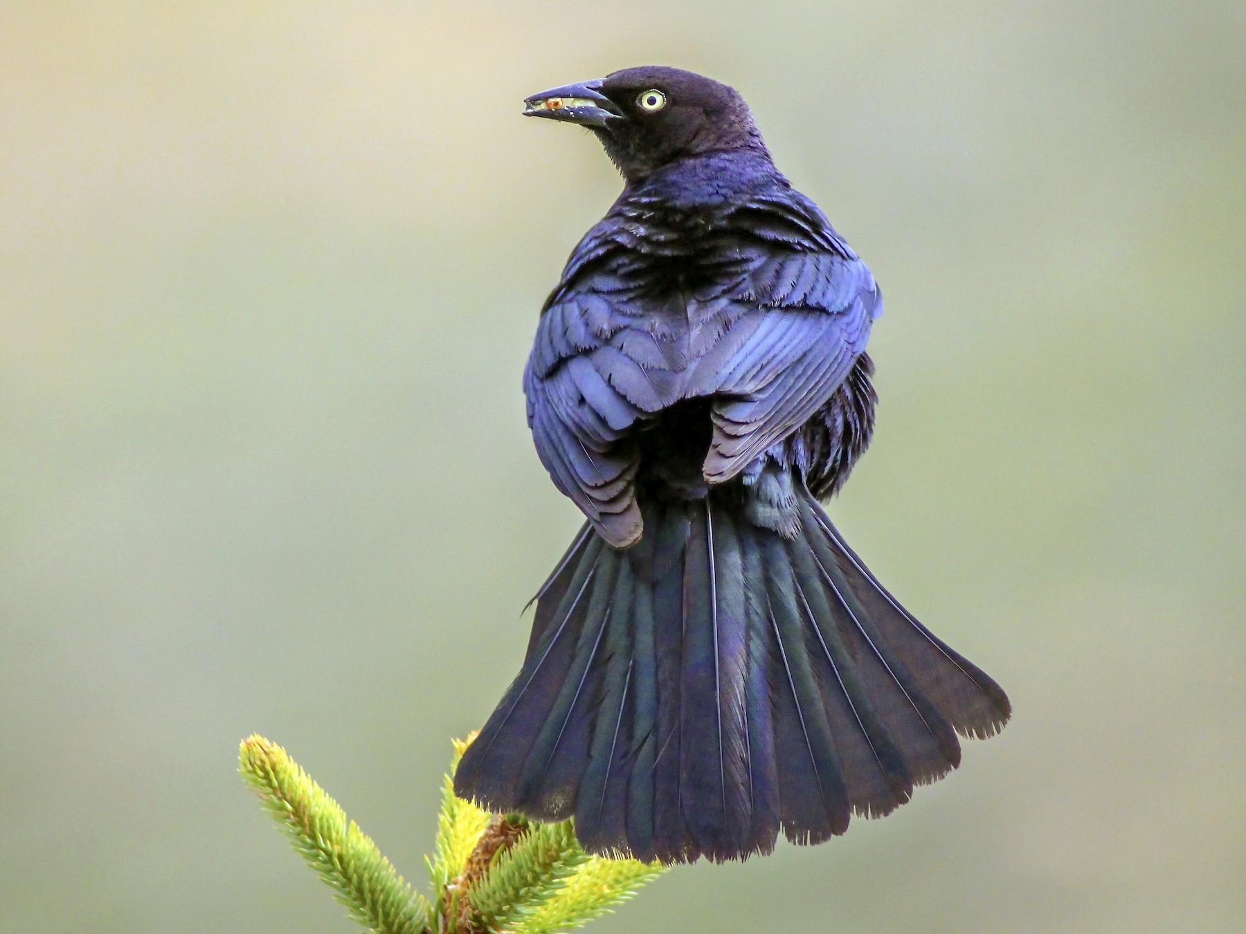 Brewer's Blackbird - Matthew Pendleton