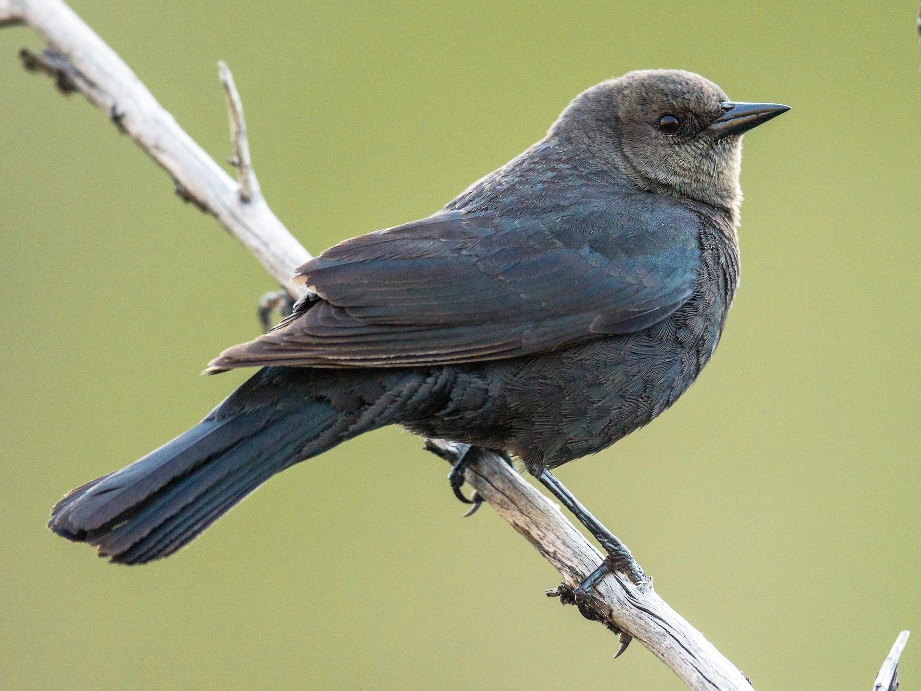 Brewer's Blackbird - Jeff Bleam