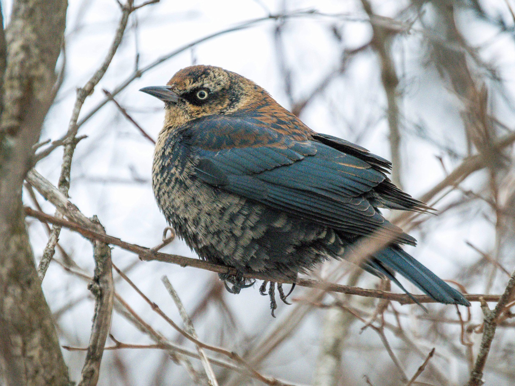 Rusty Blackbird - Nathan Stouffer