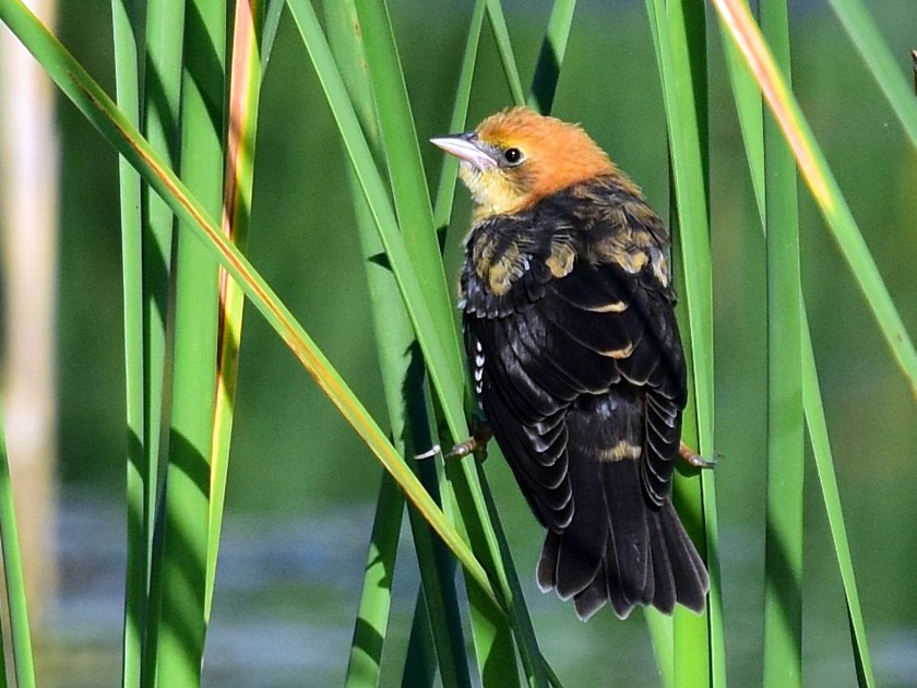 Yellow-headed Blackbird - Joel Trick