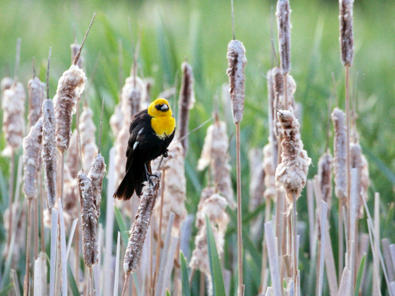 Yellow-headed Blackbird - Lou Ann Harris
