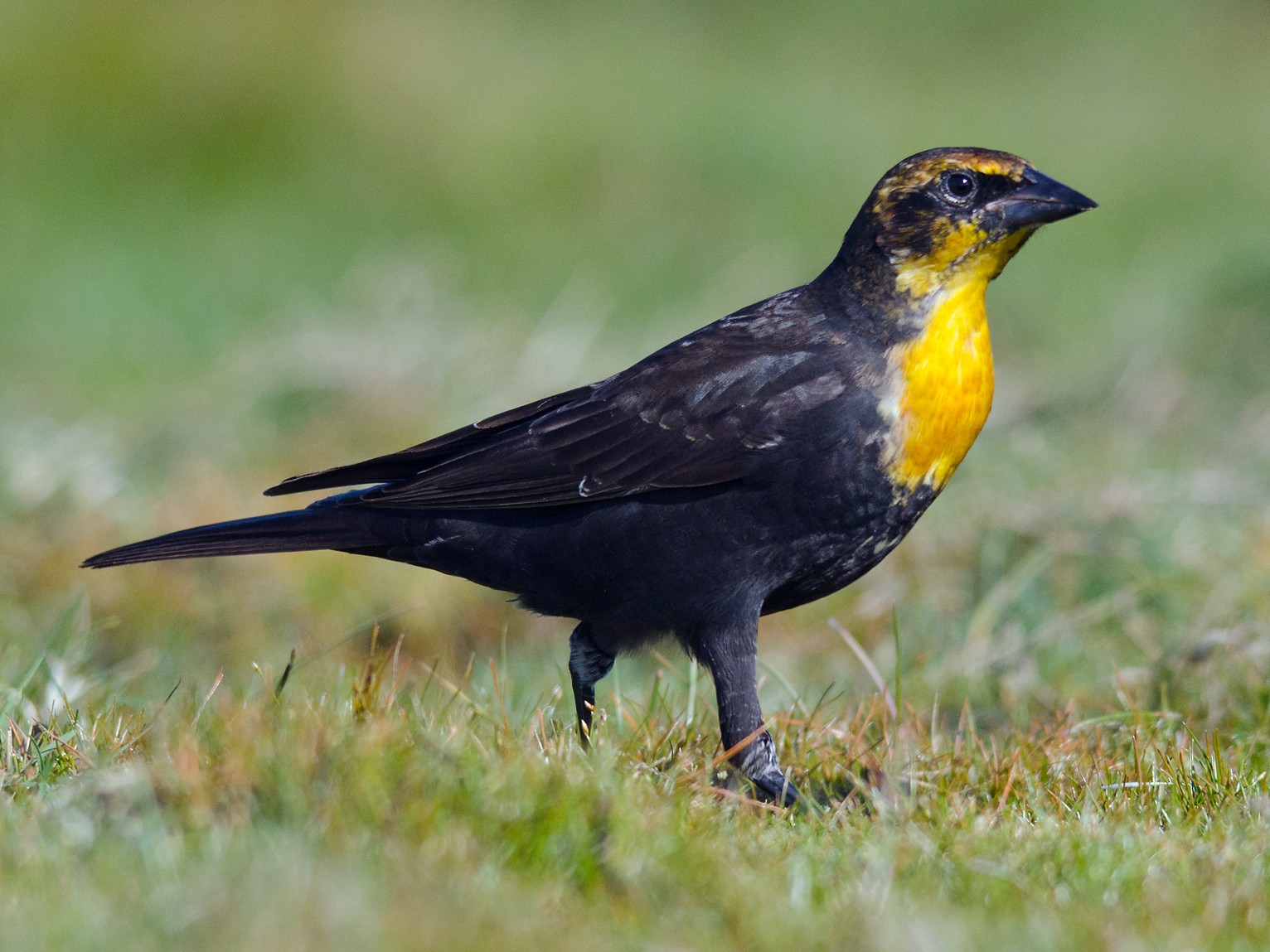 Yellow-headed Blackbird - Alix d'Entremont
