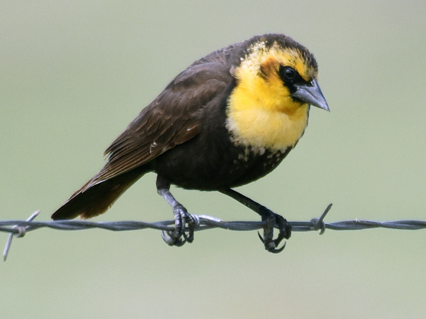 Yellow-headed Blackbird - Steven Mlodinow