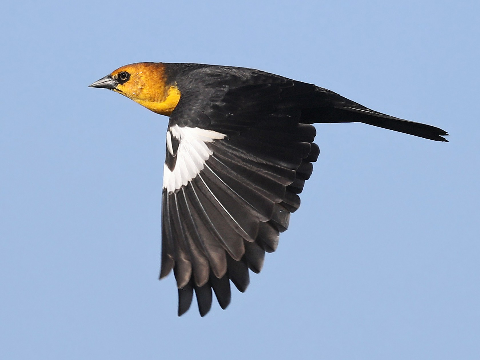 Yellow-headed Blackbird - Matt Davis