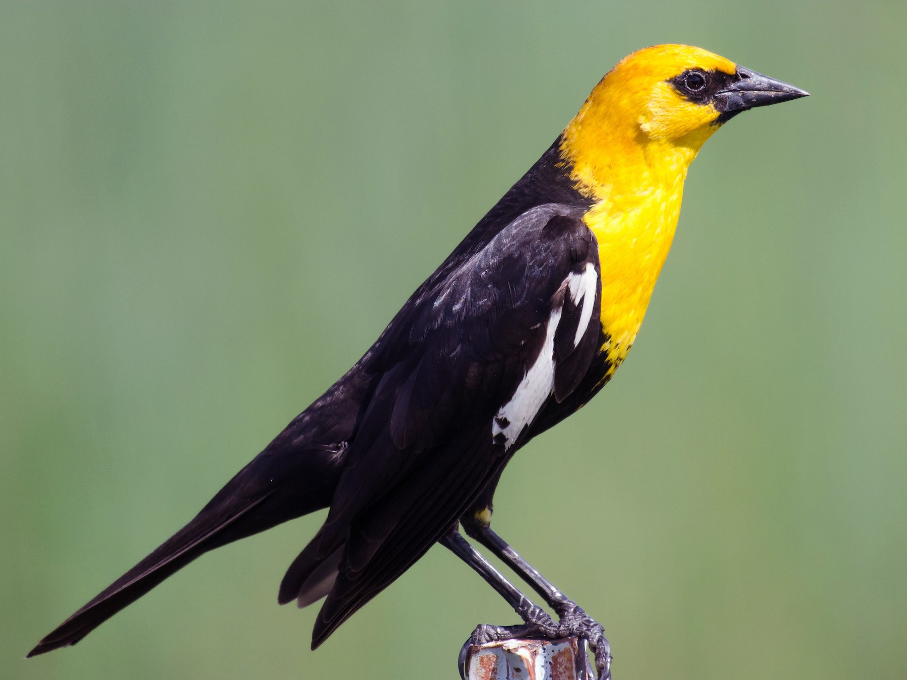Yellow-headed Blackbird - Dan Hackley