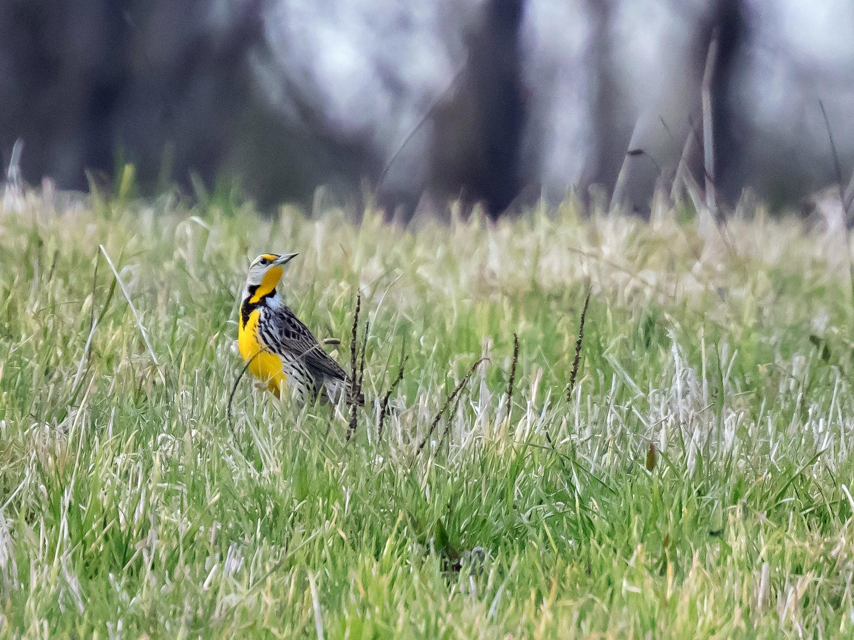 Eastern Meadowlark - Steve Kelling