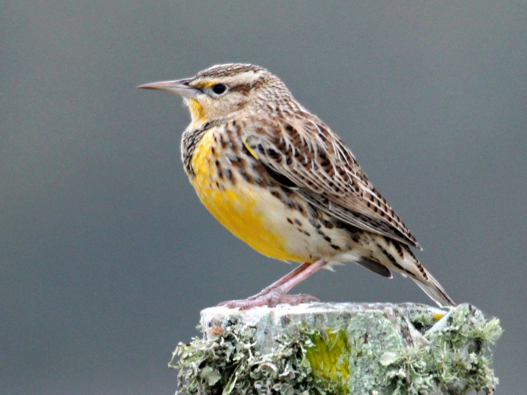 Eastern Meadowlark - Mark Scheuerman