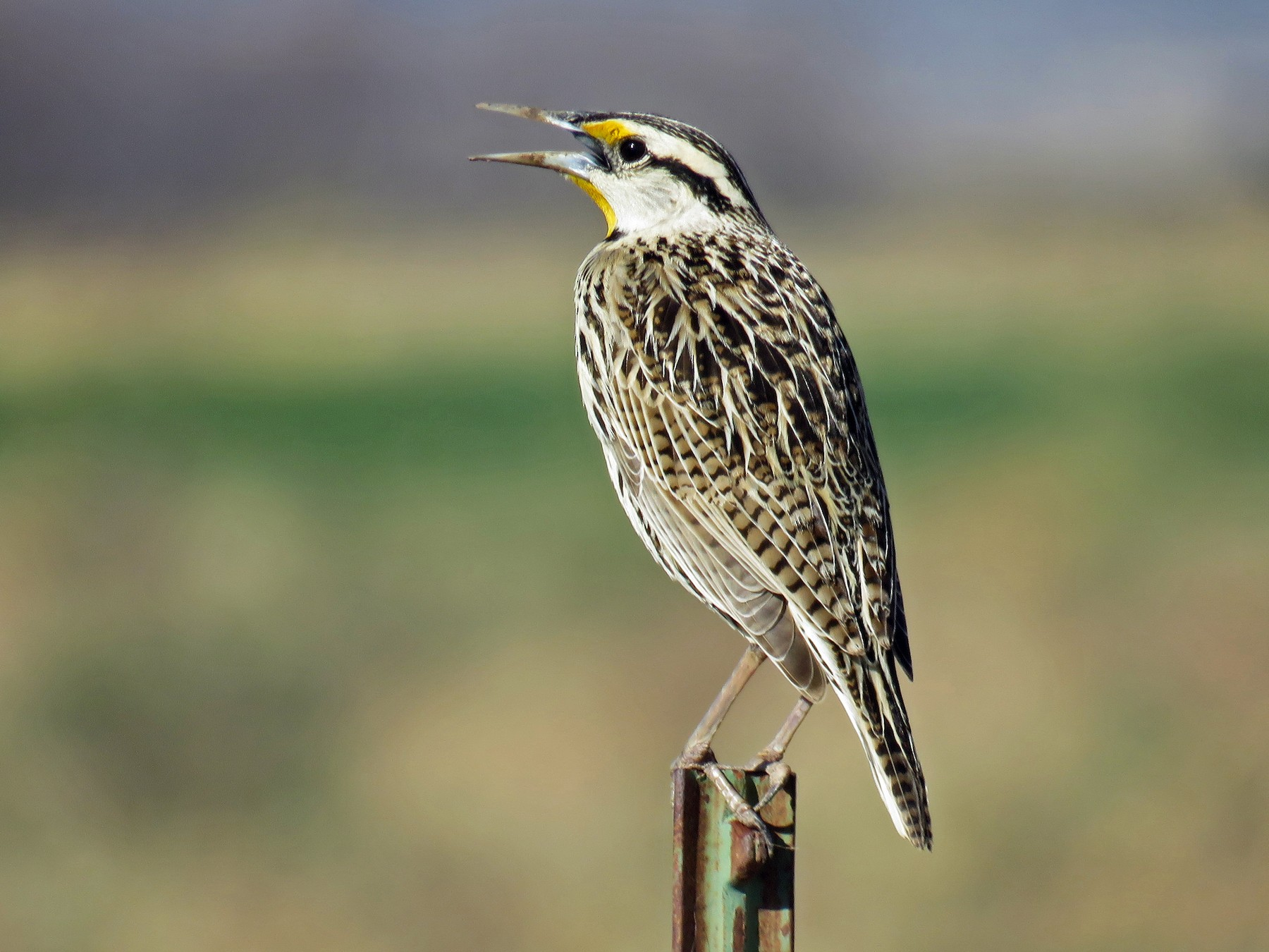 Eastern Meadowlark - Dawn Zappone
