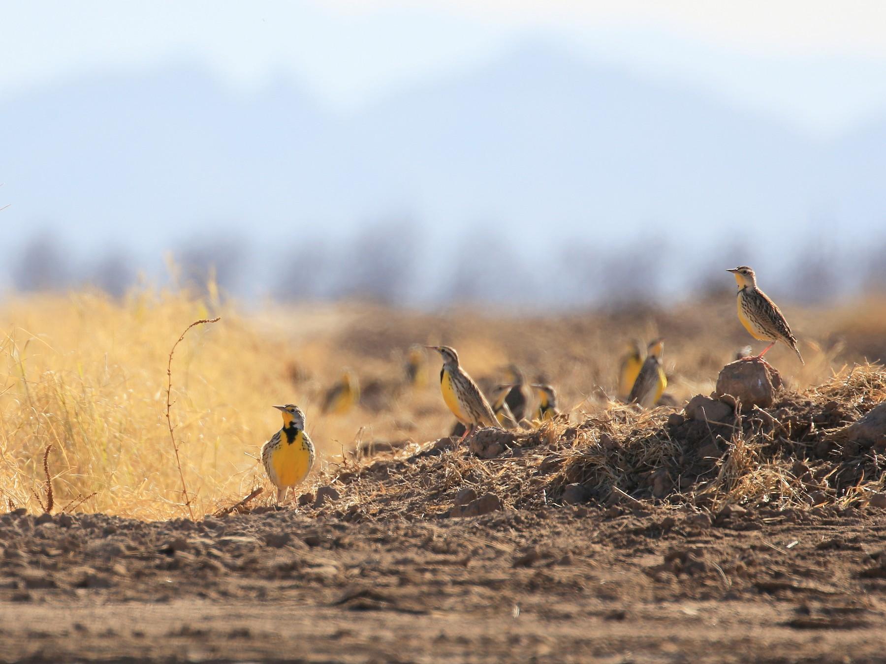 Western Meadowlark - Tim Lenz