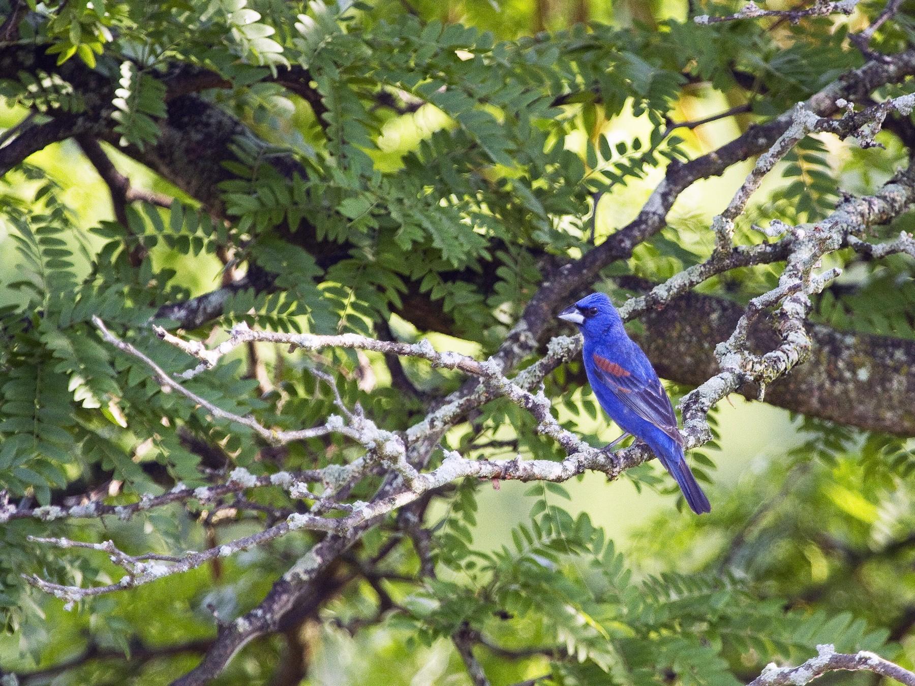 Blue Grosbeak - Gordon Dimmig
