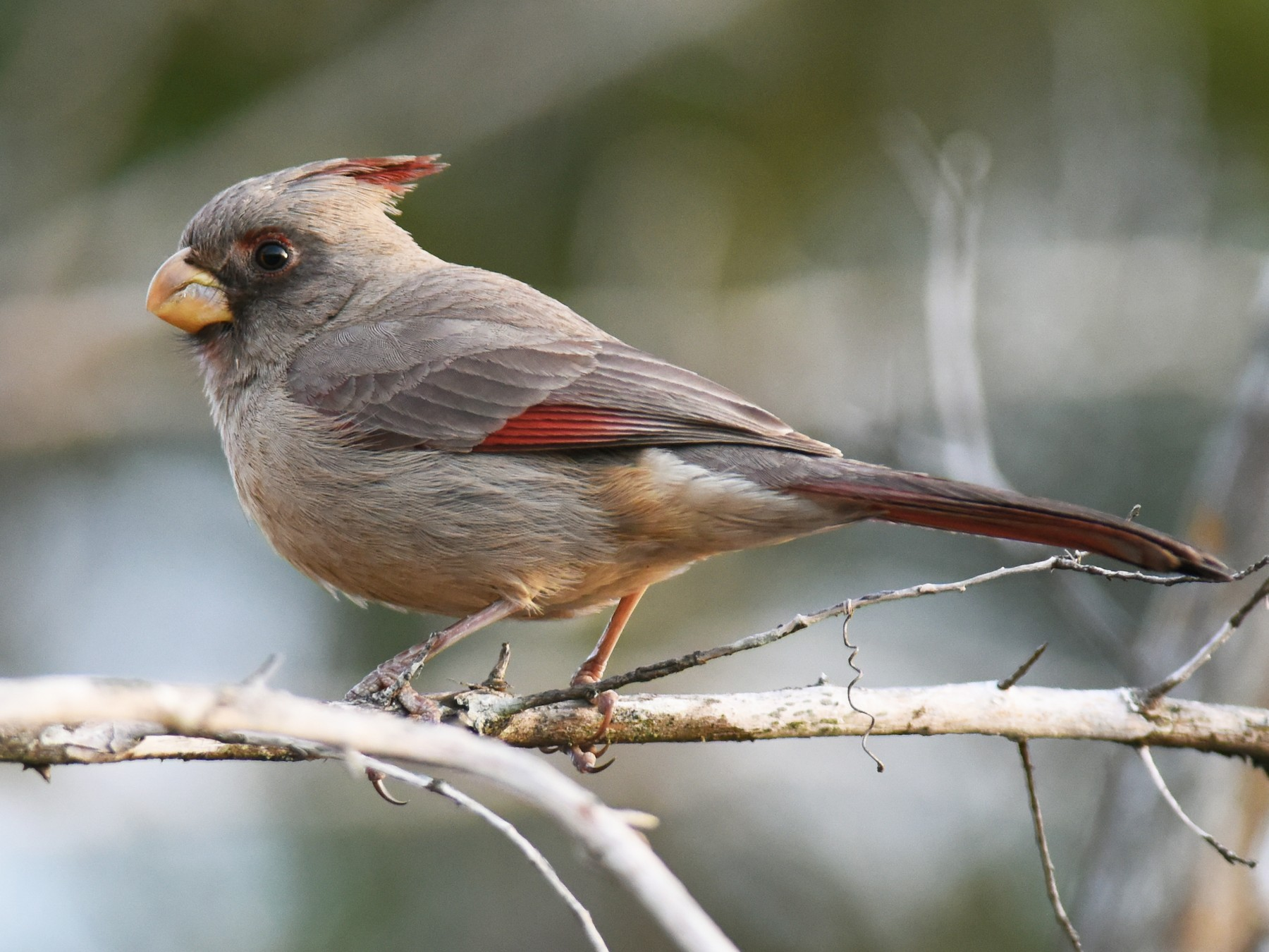 Pyrrhuloxia - Mike Charest