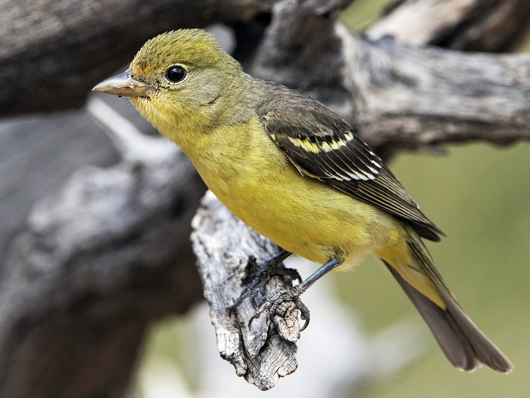 Western Tanager - Anonymous eBirder