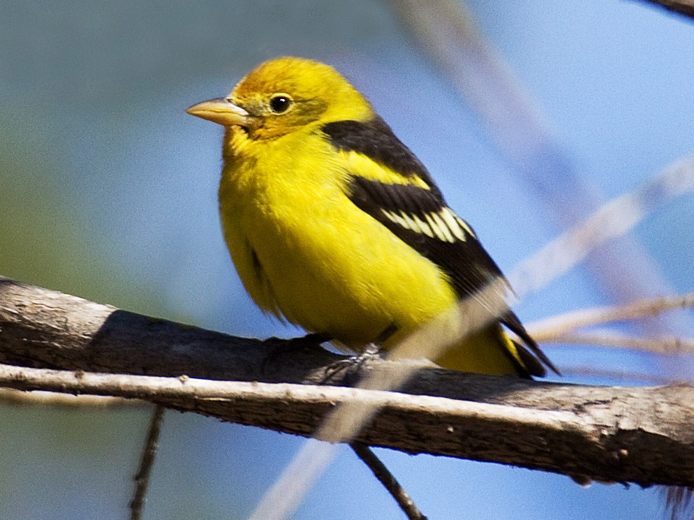 Western Tanager - Dan Vickers