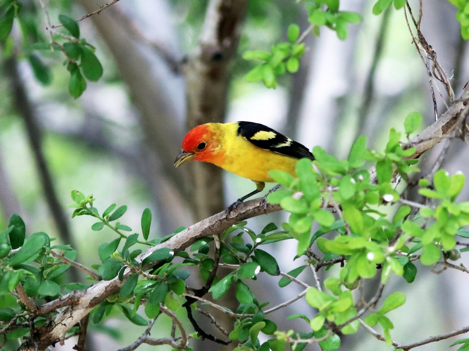 Western Tanager - John Drummond