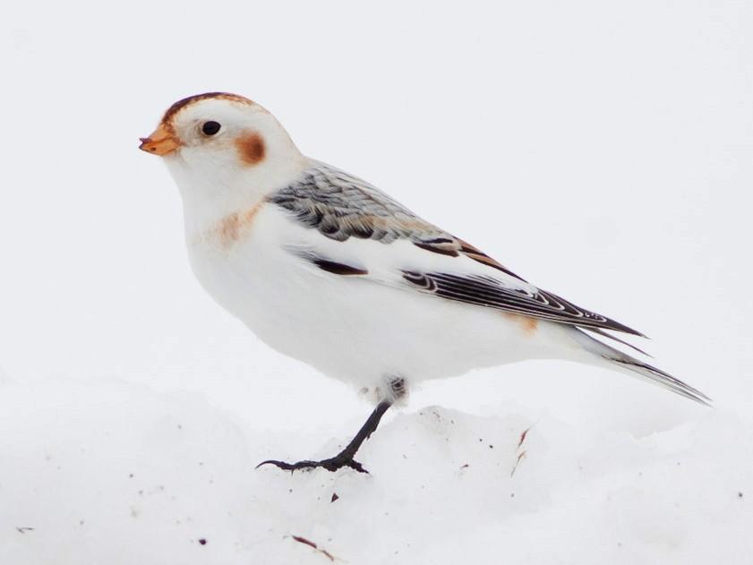 Snow Bunting - Darren Clark