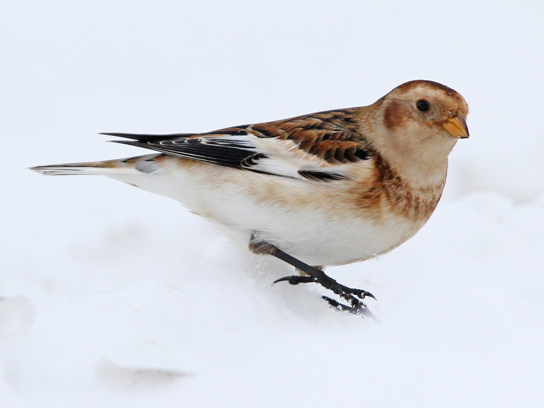 Snow Bunting - Christoph Moning