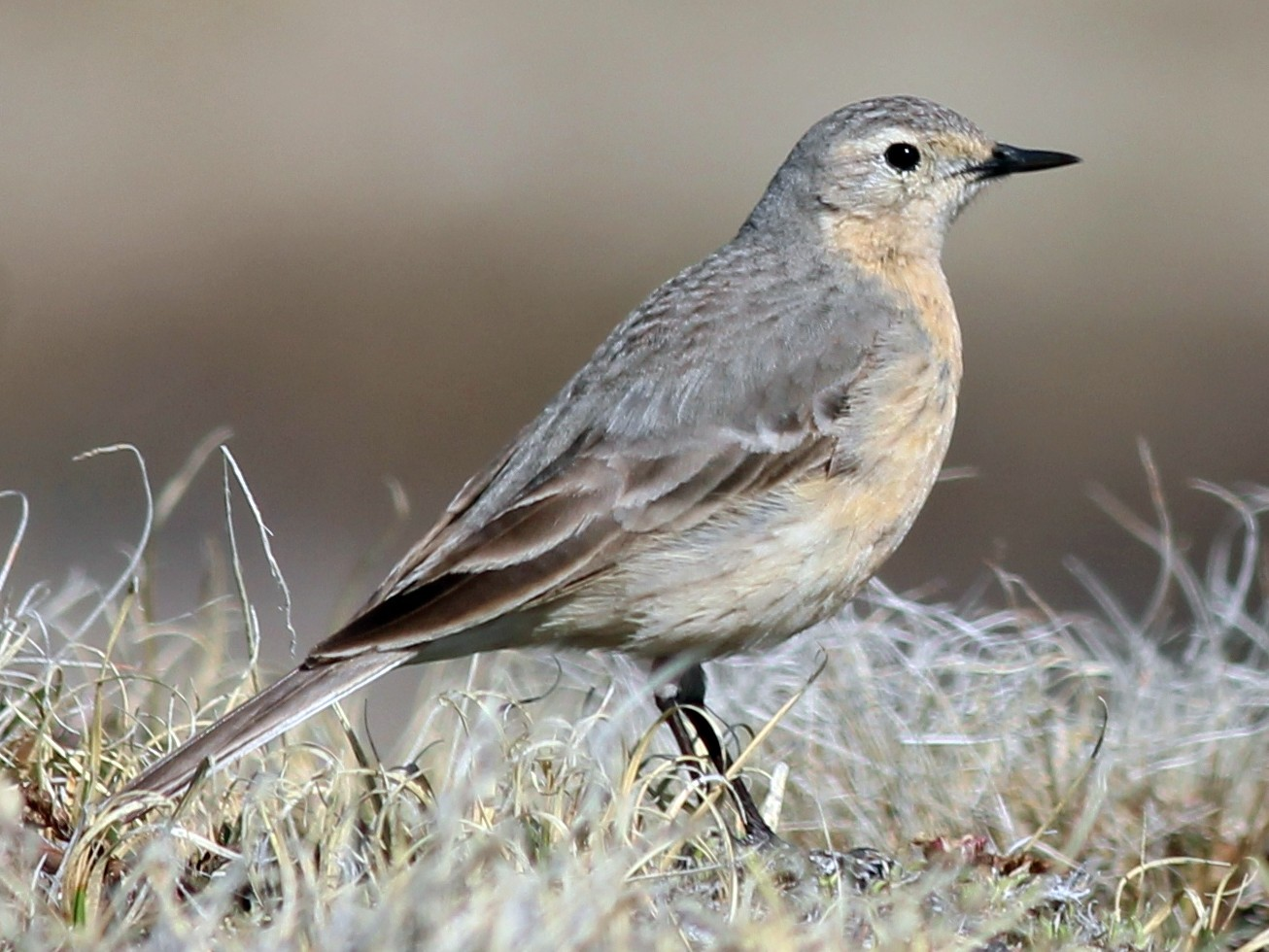 American Pipit - Shawn Billerman