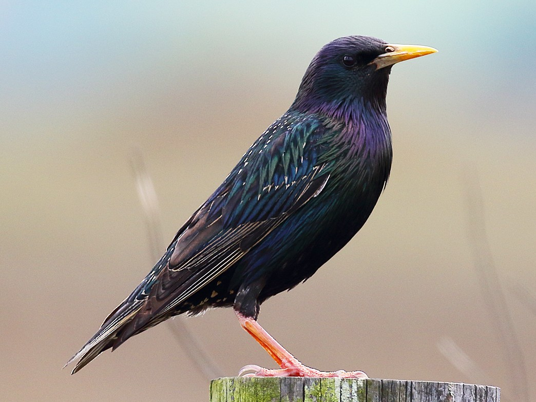 European Starling - Dan Vickers