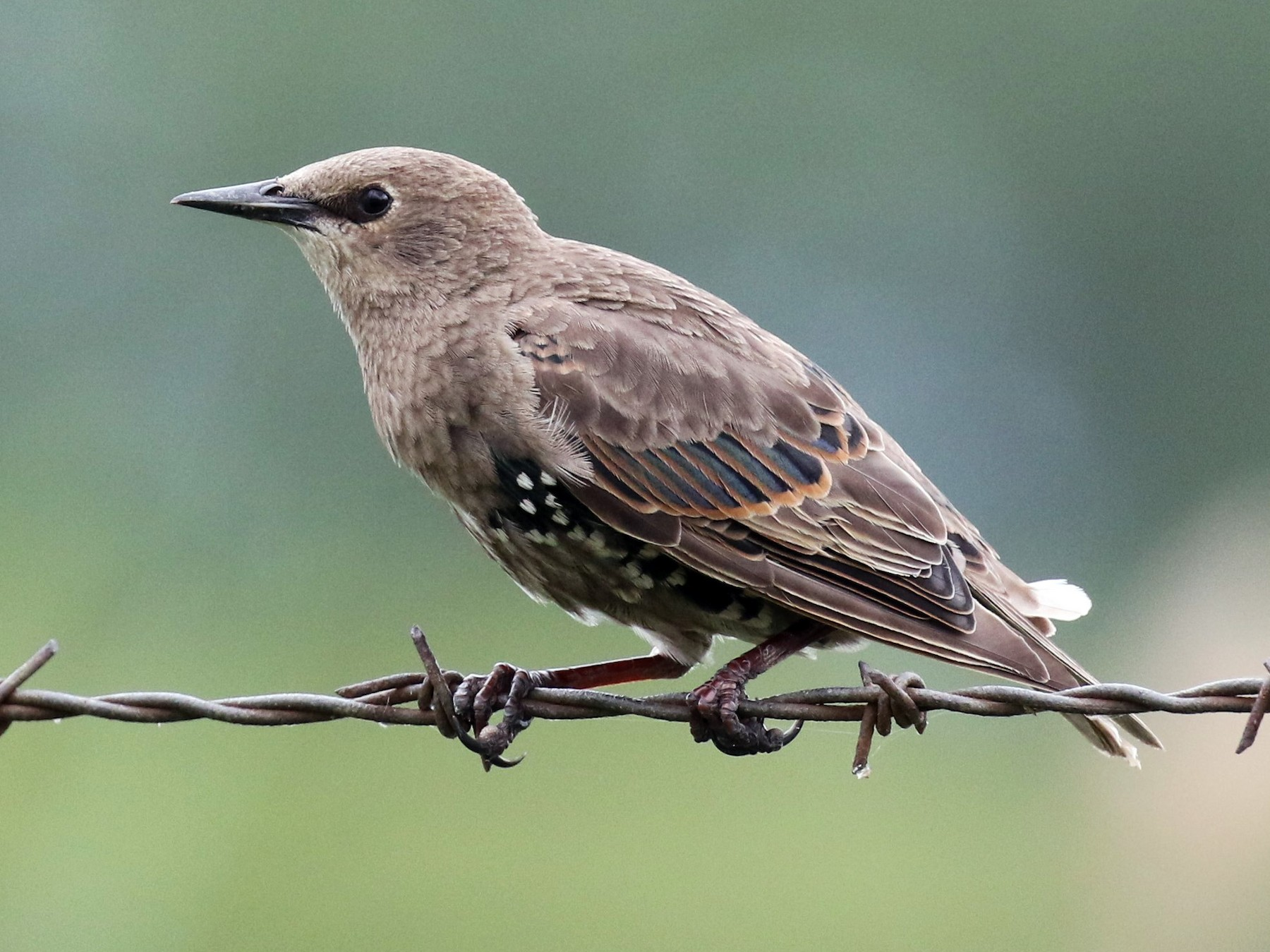 European Starling - Walter Marcisz