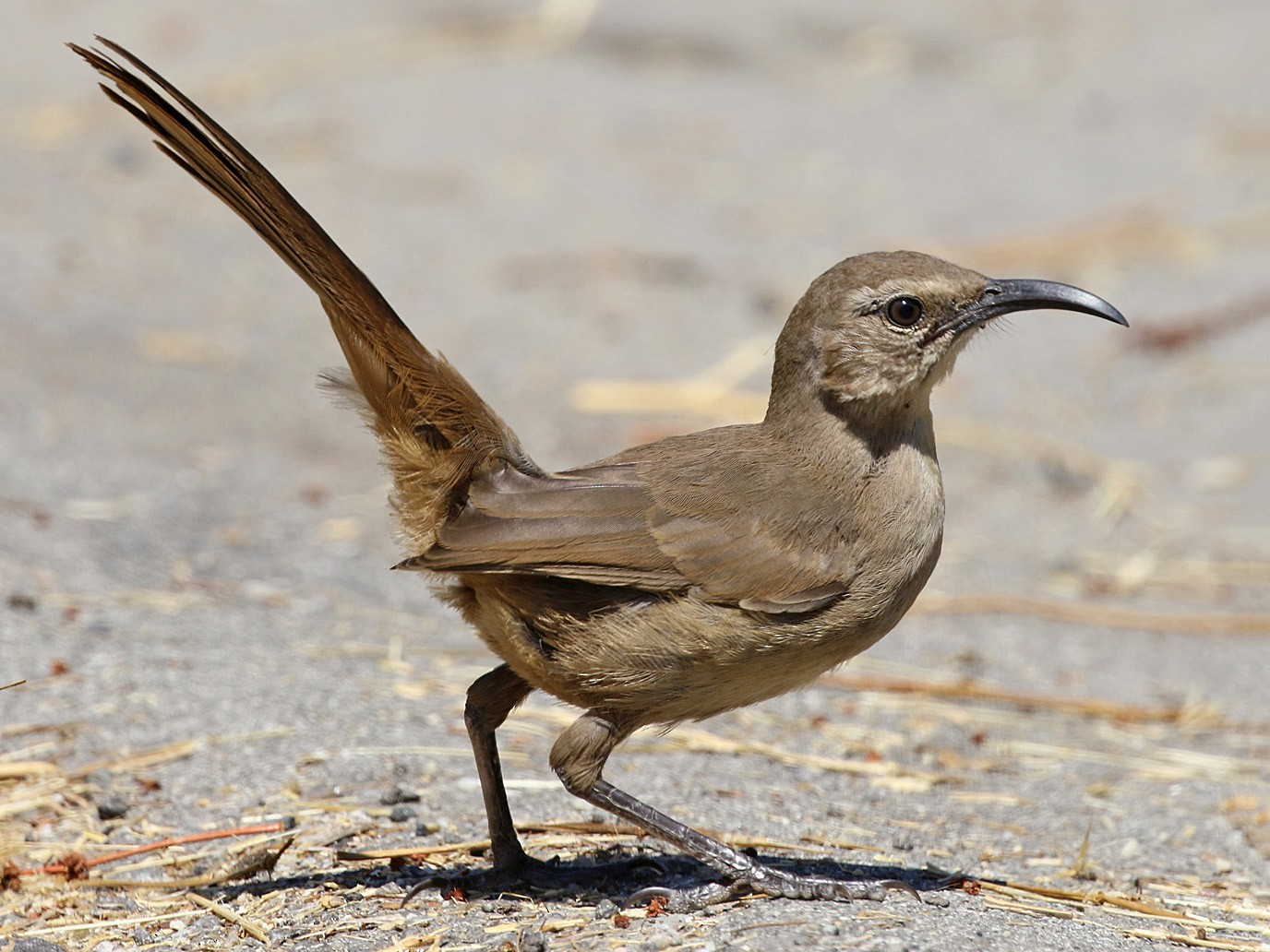 California Thrasher - Joan Tisdale
