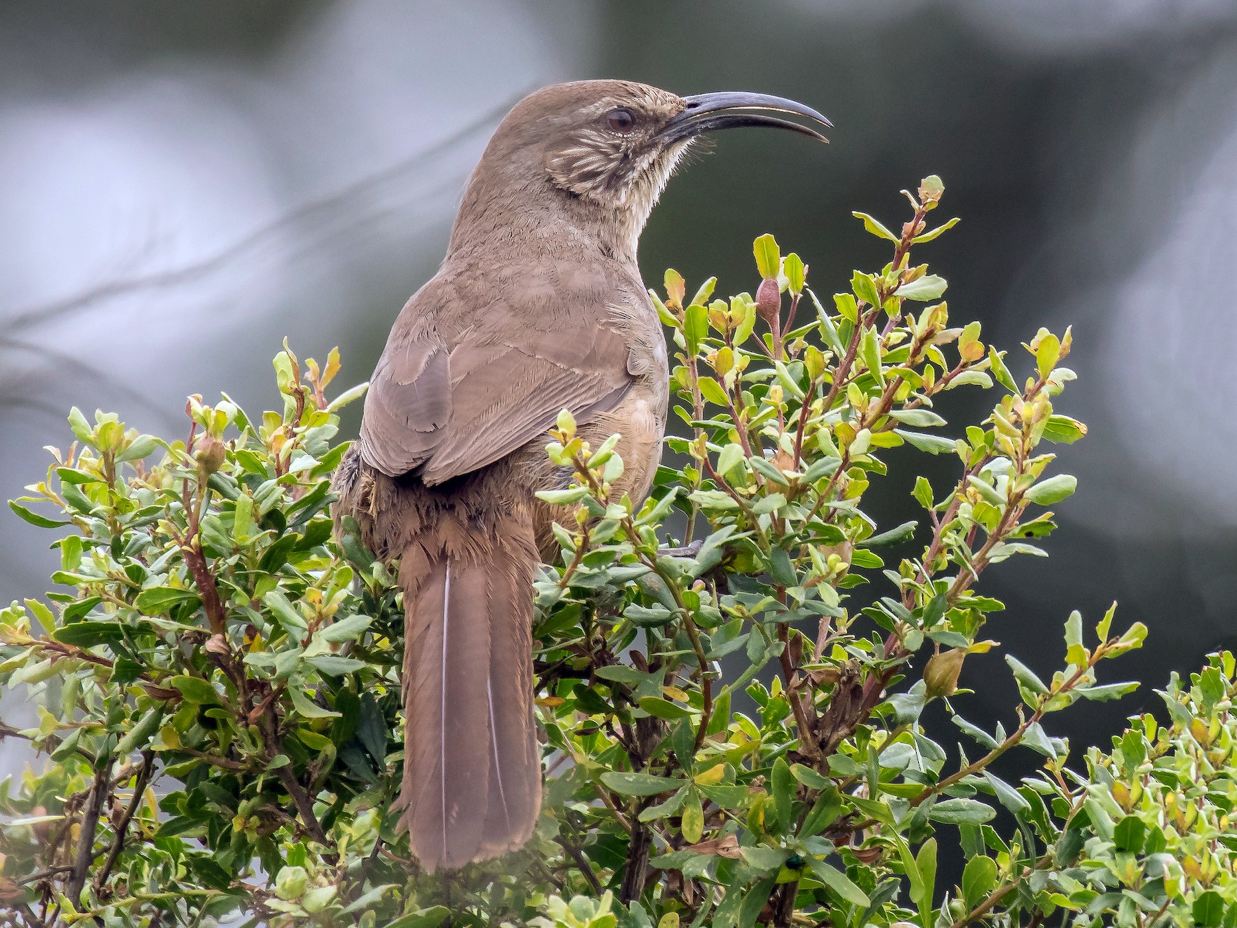 California Thrasher - Peter Hawrylyshyn