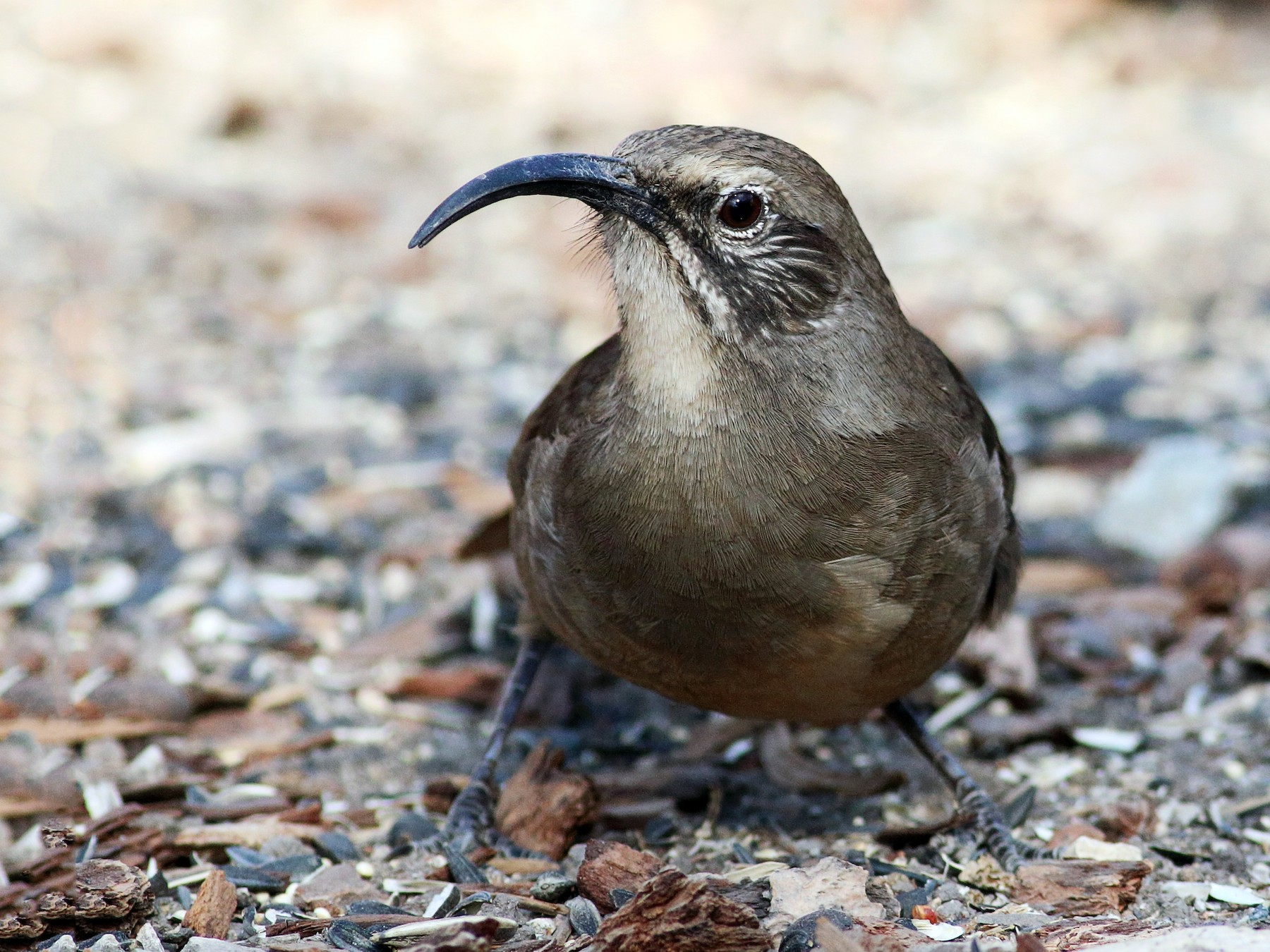 California Thrasher - Paul Fenwick